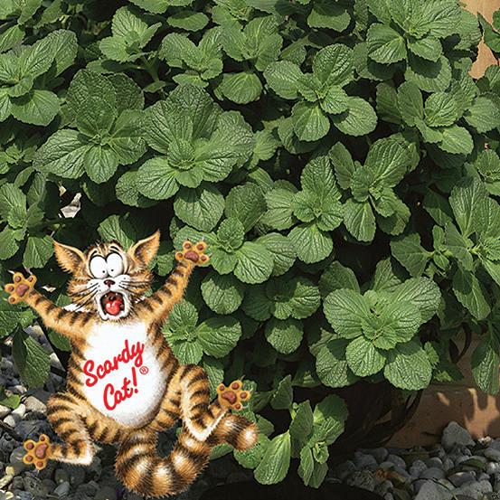 ad859c8772 12 Jumbo Plug Plants - 'Scaredy Cat Plants' Coleus Canina | Witt -International